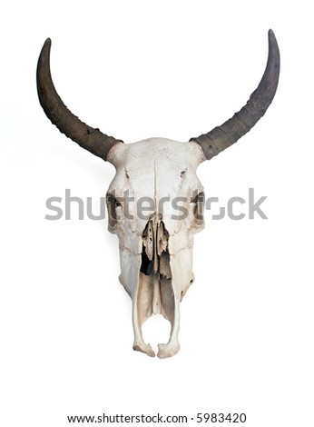 Skull of a cow.