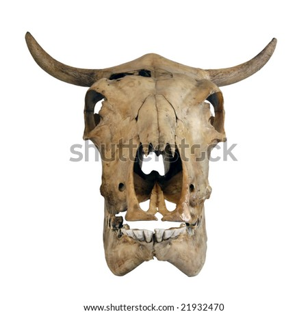 Skull of a cow on a white background - stock photo