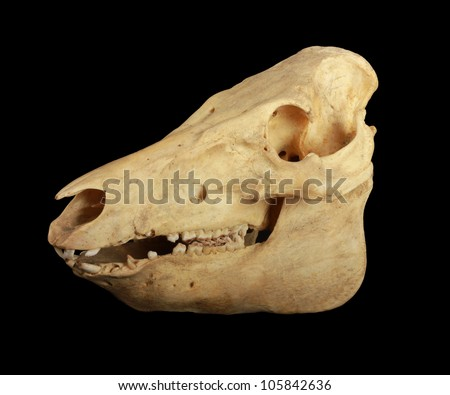 Skull of a pig black isolated - stock photo