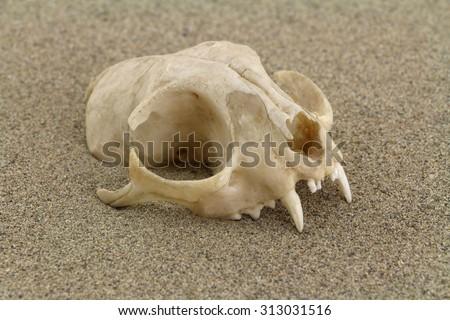 Skull of cat is half-buried in desert sand. Focus on front of skull.  - stock photo