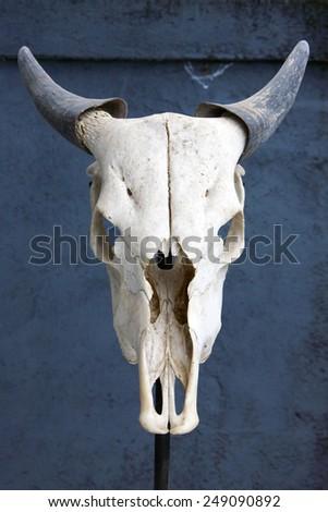 Skull of cow - stock photo
