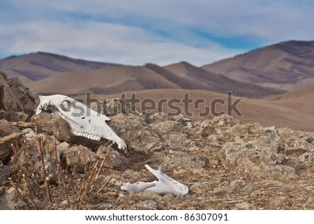 skull of horse in mountainous national park Terelj - Mongolia - stock photo