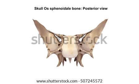 sphenoid bone stock images, royalty-free images & vectors, Sphenoid