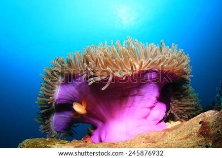 Skunk Anemonefish Clownfish anemone - stock photo