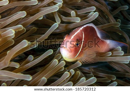 Skunk clownfisn in an anemone on a tropical coral reef - stock photo