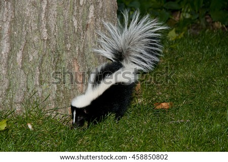 Skunk In Backyard