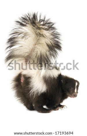 Skunk with tail raised upward isolated on a white background - stock photo