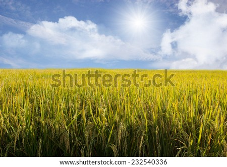 sky and Rice fields - stock photo