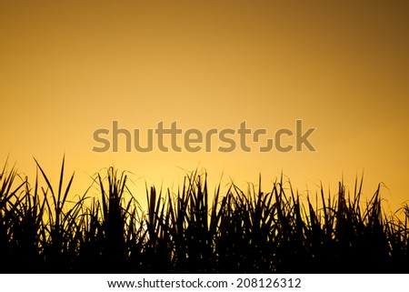 Sky at sunset behind sugar cane field - stock photo