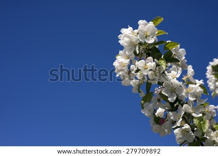 Sky blue beautiful apple blossom with copy space - stock photo