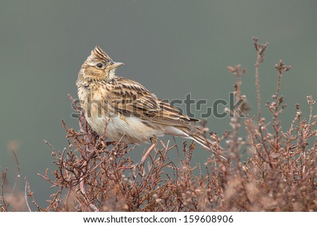 Sky lark (Alauda arvensis) singing on the heather. - stock photo