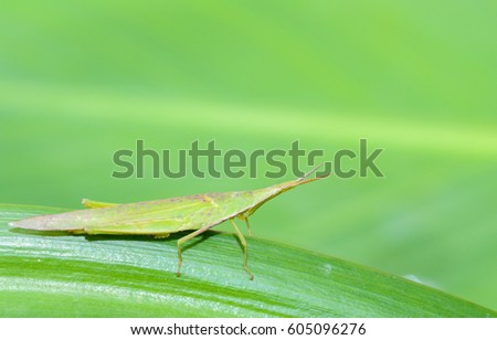 Slant - faced Grasshopper in  nature