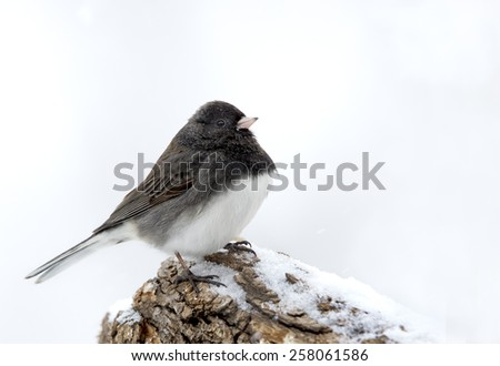 Slate Colored Northern Junco (Junco hyemalis) perched on a snowy stump. - stock photo