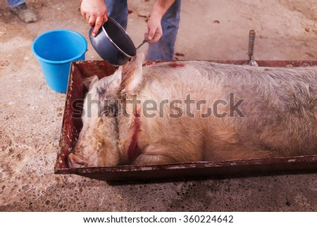 slaughtered pig watered with hot water to remove hair