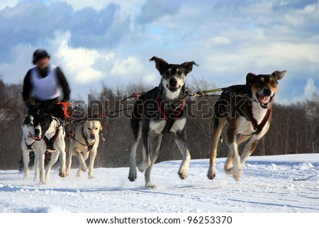 Sled Dog - Pasterka, Poland - stock photo
