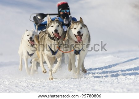 sled dog race in winter on snow in Lenk / Switzerland 2012 - stock photo