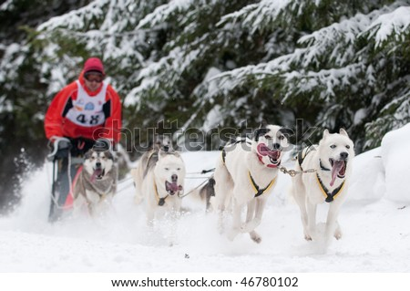 Sled dog racing - focus on first pair of dogs, shallow depth of field. - stock photo