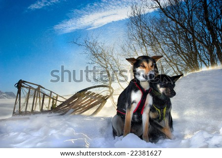 Sled Dogs Resting in the Lyngen Alps