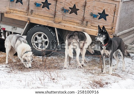 Sled Dogs Stand Near Dog Truck - waiting for dog sled race start - stock photo