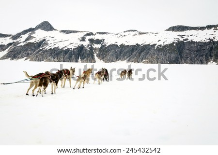 Sled dogs take a rest break during a dog sled run - stock photo