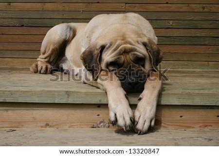 Sleeaping mastiff - stock photo