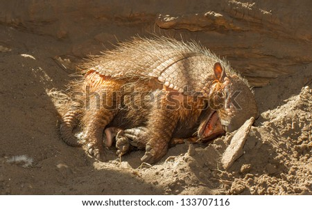 Sleeping armadillo (Chaetophractus villosus) in a dutch zoo