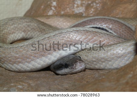 sleeping asian python close-up photo
