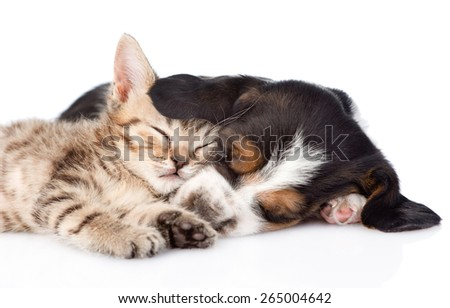 sleeping basset hound puppy hugs tiny kitten. isolated on white background - stock photo