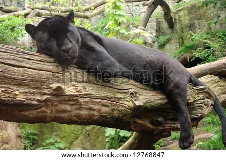 Sleeping black jaguar, (Bagheera from Jungle book?) - stock photo