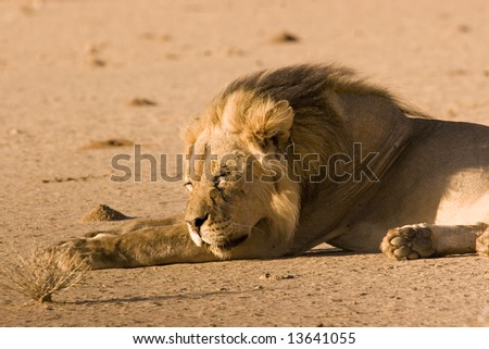 Sleeping black-maned lion in Kgalagadi Transfrontier Park