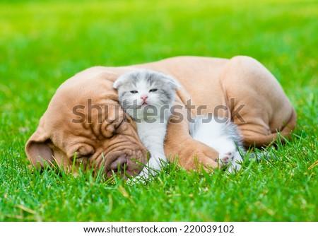 Sleeping Bordeaux puppy dog hugs newborn kitten on green grass - stock photo