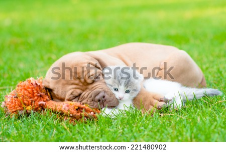 Sleeping Bordeaux puppy dog hugs newborn kitten on green grass - stock photo