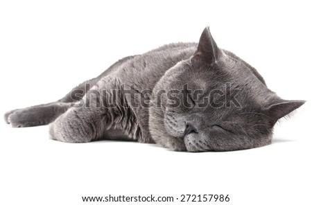 Sleeping British cat - stock photo