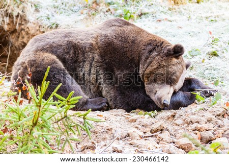 sleeping bear stock photos images pictures shutterstock. Black Bedroom Furniture Sets. Home Design Ideas