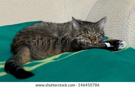 Sleeping cat on a sofa,close up, small sleepy lazy cat, lazy cat on day time, sleeping kitten,  animals, domestic cat, relaxing cat, cat resting, cute cat sleeping on a bed, cat at home - stock photo