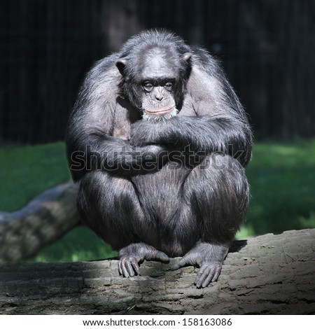 Sleeping Chimpanzee.  - stock photo