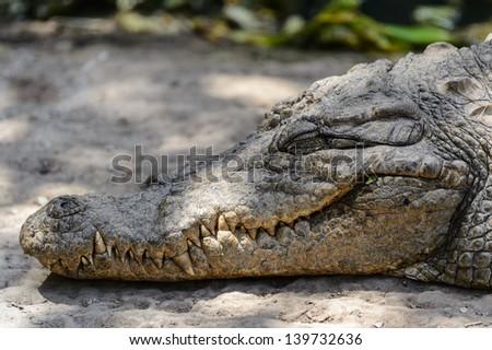 Sleeping crocodile - stock photo