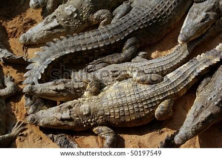 Sleeping crocodiles on crocodile farm, Thailand - stock photo