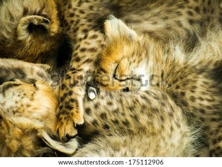Sleeping Cubs - stock photo