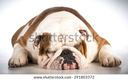 sleeping dog - bulldog male 6 years old - stock photo