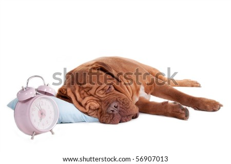 sleeping dogue de bordeaux on a pillow with fancy alarm clock - stock photo