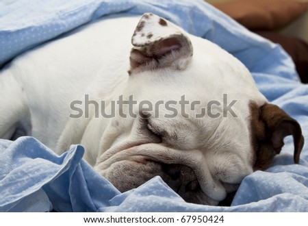 Sleeping English Bulldog - stock photo