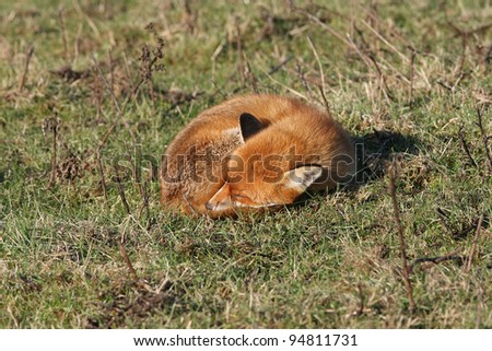 sleeping fox Vulpes vulpes - stock photo