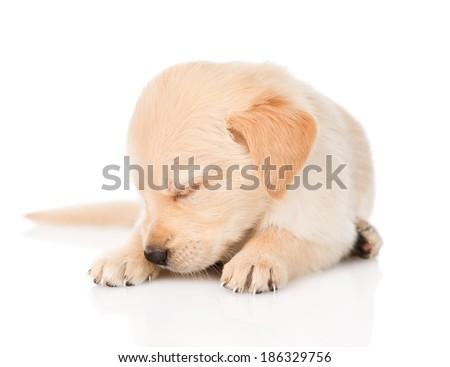 sleeping golden retriever puppy dog. isolated on white background - stock photo