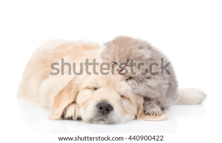 Sleeping golden retriever puppy embracing tiny kitten. isolated on white background