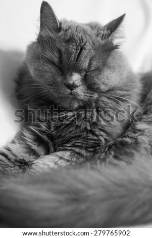 sleeping gray chinchilla-persian cat