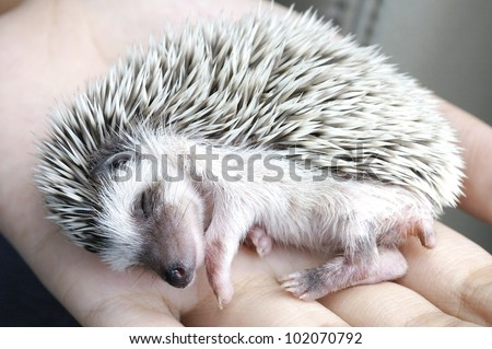 sleeping hedgehog in hand - stock photo