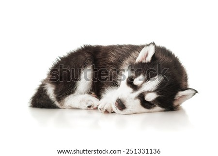 Sleeping husky puppy - stock photo