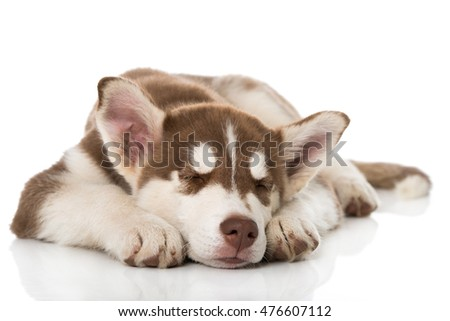 Sleeping husky puppy isolated on white