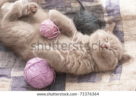 sleeping kitten rare color (lilac) - stock photo